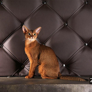 Abyssinian ruddy cat