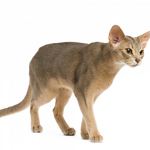 Abyssinian blue cat